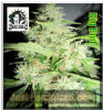 Sensi Big Bud Female 5 Marijuana Seeds